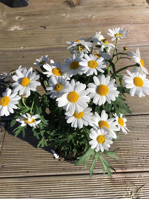 Großblumige Margerite | sonnig | frostfrei überwintern