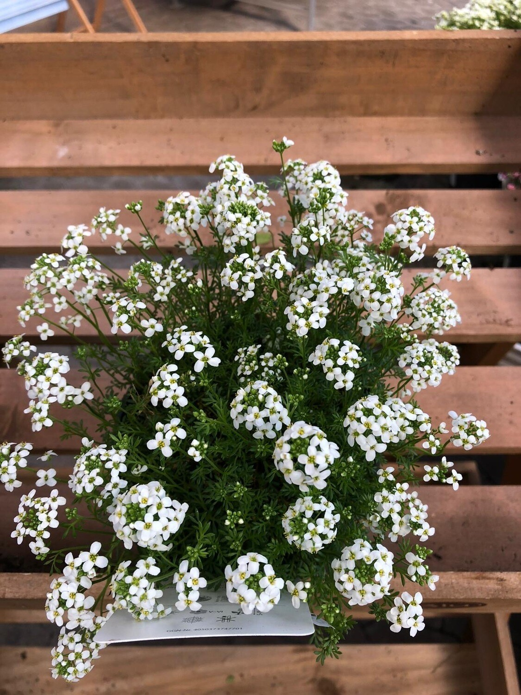 Moos-Steinbrech | Blaukissen | Schleifenblume | Insekten-freundlich | winterhart