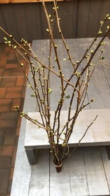 Zweige im Bund | Kirsche