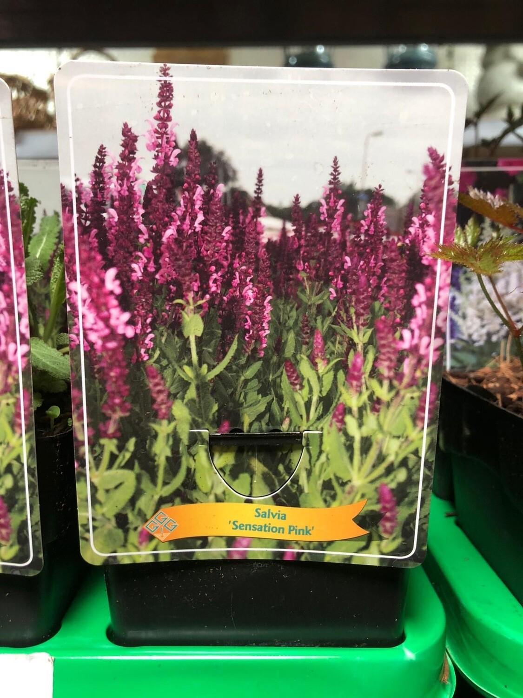 Blüten-Salbei