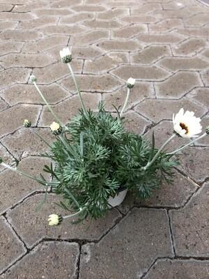 Winterharte Margerite   Weiß
