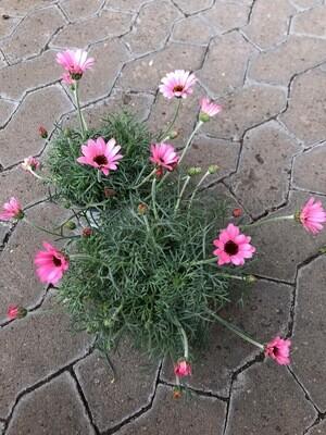 Winterharte Margerite   Rosa