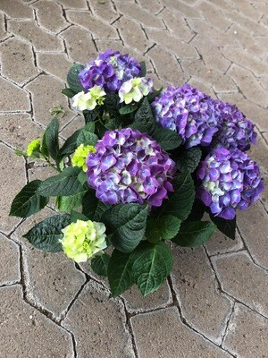 Hortensie   150-Tage-Blüher