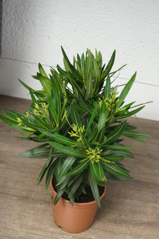 Oleander | Weiß