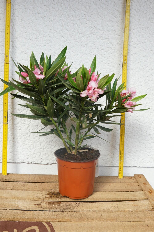 Oleander | Rosa