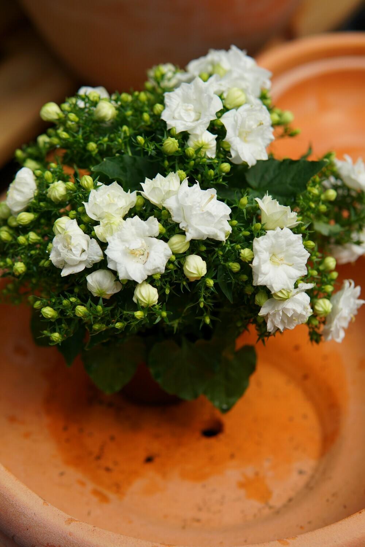 Glockenblume | weiß gefüllt