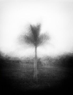 Lone Palm