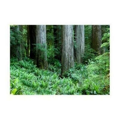 Redwood Grove and Ferns