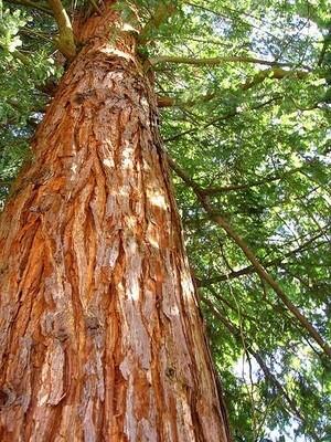 Cedar scented - 19