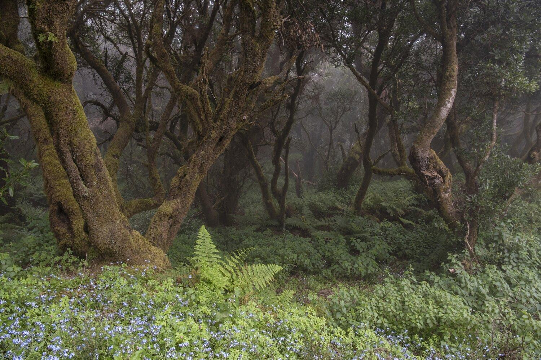 Nebelwald mit Blumen in den Bergen von El Hierro