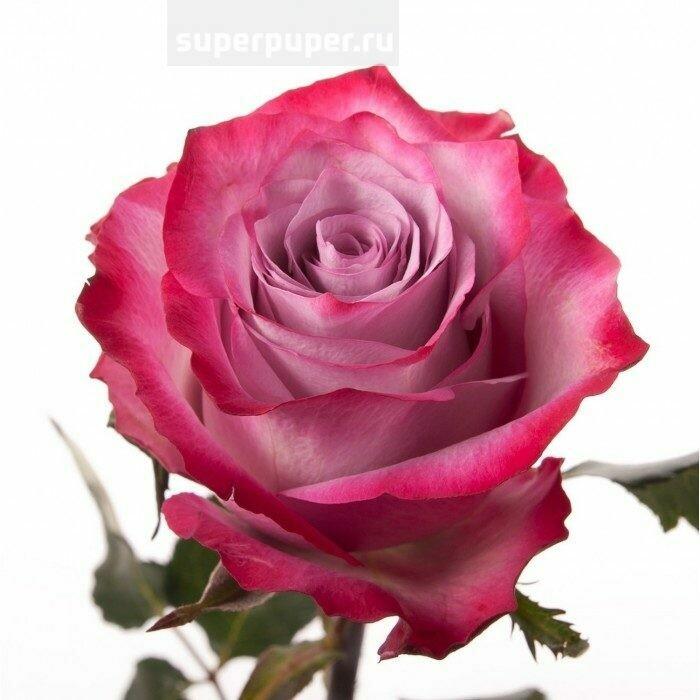 Роза по-штучно Эквадор Дип Перпл 60 см.