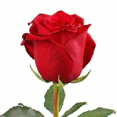 Роза по-штучно Эквадор Эксплорер 60 см.