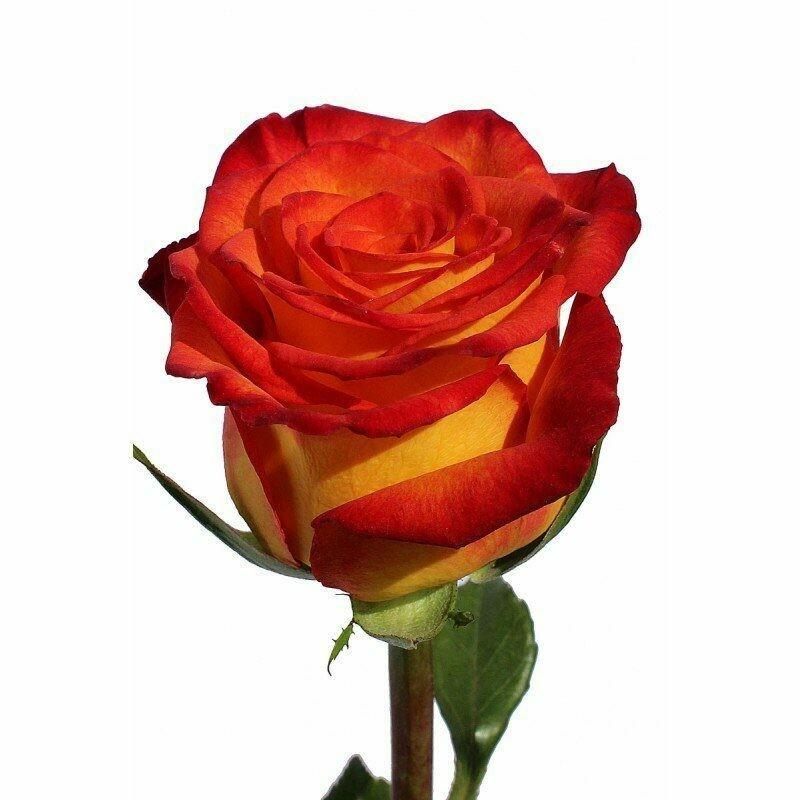 Роза по-штучно Эквадор Хай Мэджик  60 см.