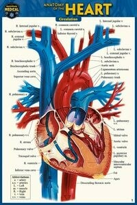 Quick Study Medical Anatomy of the Heart
