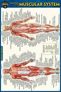 Quick Study Medical Anatomy of the Muscular System