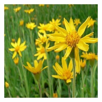 Arnica Flowers (Whole)                          505