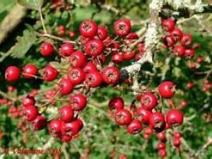 Hawthorne, Berries whole 2516