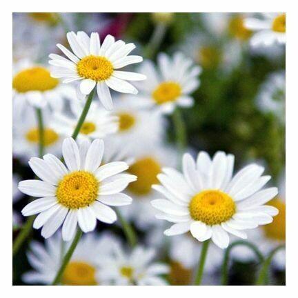 Chamomile, Flowers-Whole organic 398