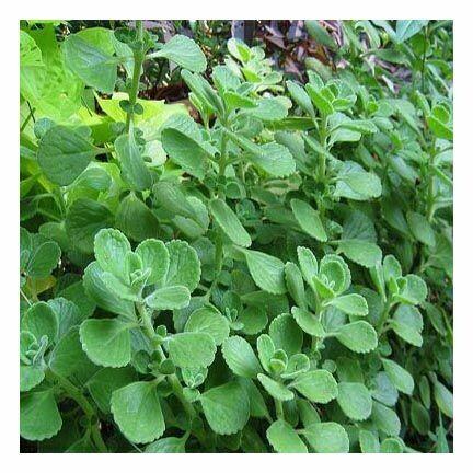 Oregano Leaf (cut & sifted)