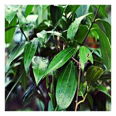 Cinnamon Leaf, 1/2 oz.
