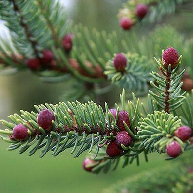 Black Spruce ATI 1/4 oz.