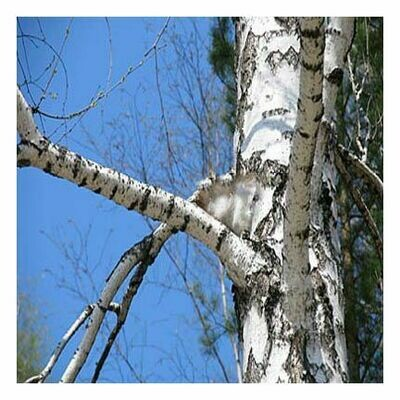 Birch Bark, 1 oz.