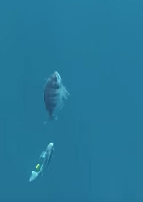 Bay reef special Karei 12lb class 240 150g