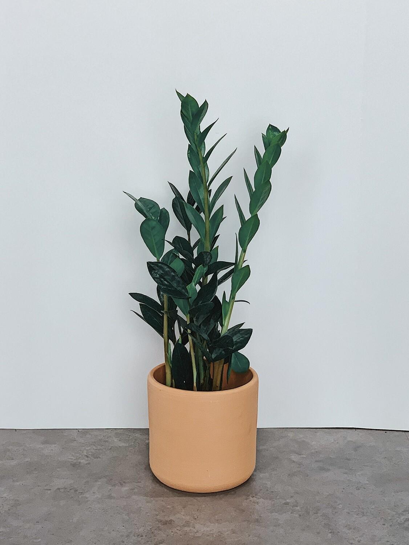 ZZ Plant  🌱