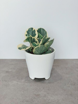 Potted: Baby Rubber Plant