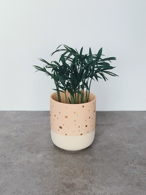 Potted: Bella (love) Palm