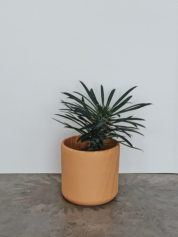 Madagascar Palm  🌱
