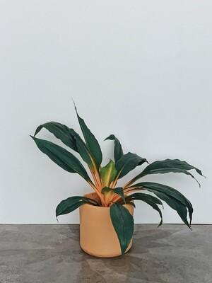 Mandarin Plant