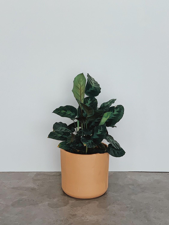 Calathea (Zebra Plant)