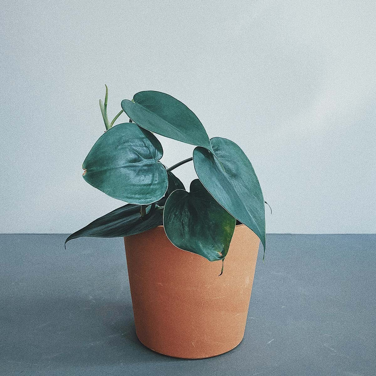 Philodendron hederaceum (HEART SHAPE)