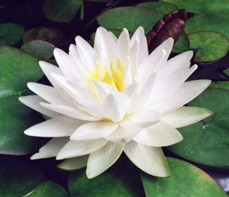 Gonnnere Hardy White Water Lily | White Hardy Water Lilies | Pond ...