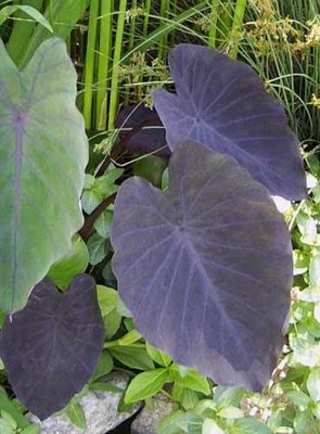 Black Magic Taro Pond Plant