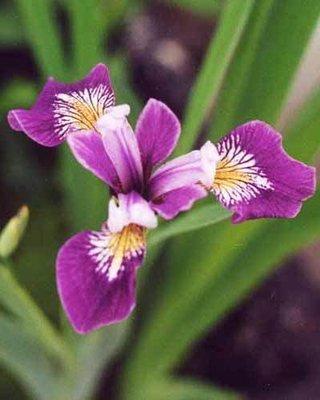 Blue Flag Iris Pond Plant