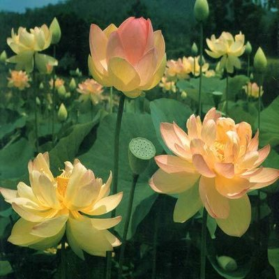 Mrs Perry Slocum Pond Lotus