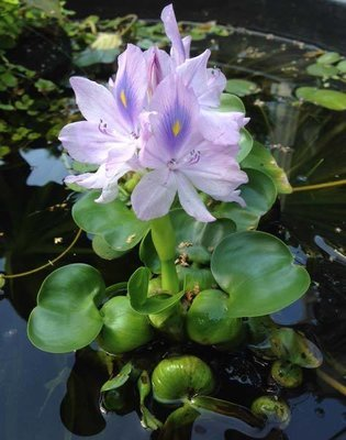Water Hyacinth - Compact Variety