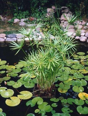 Umbrella Palm Pond Plant