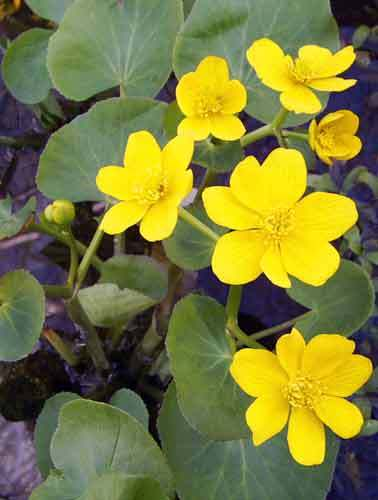 Marsh marigold pond plant mightylinksfo