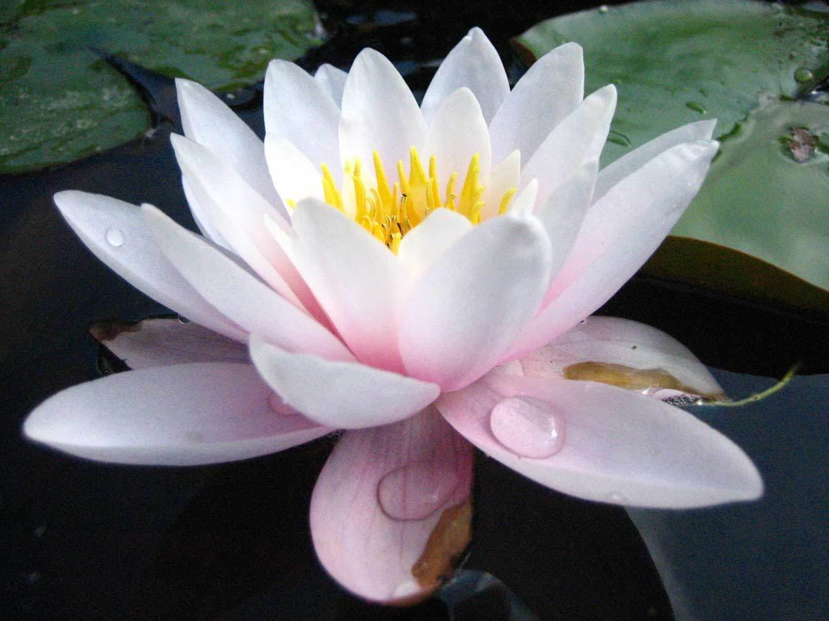 Carnea White Pale Pink Hardy Water Lily