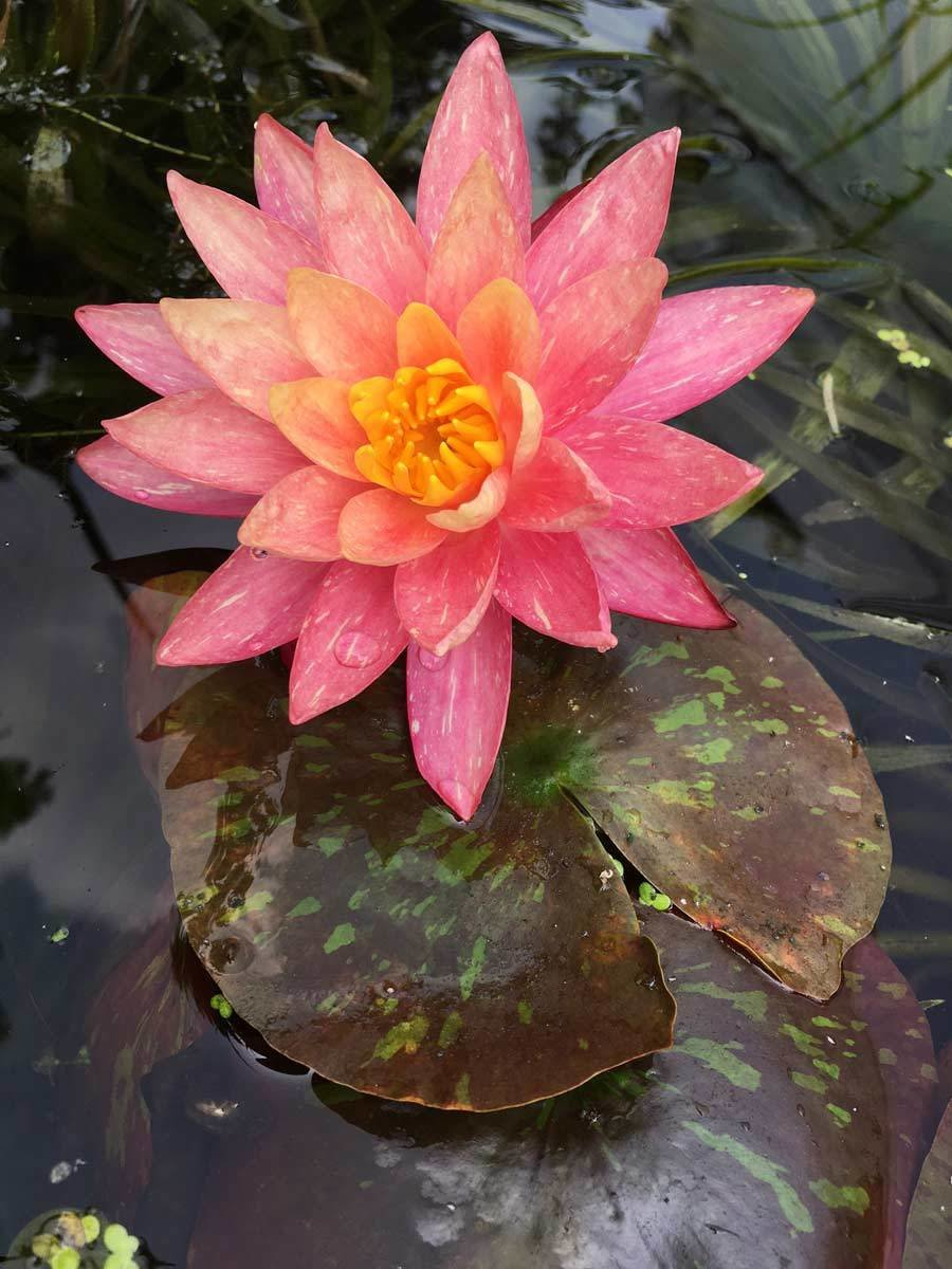 Water Lily Anatomy Topsimages