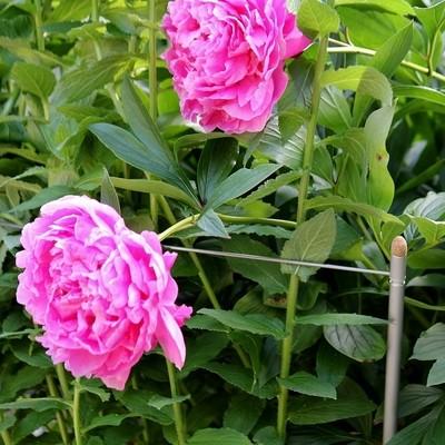 Set veelzijdige plantensteunen Smart 3-in-1 | L 125 cm