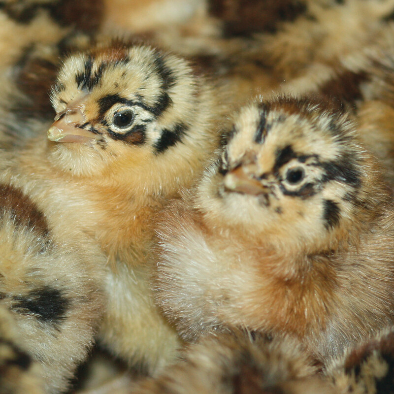 Buttercup Chickens