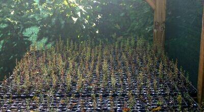 1000 Manuka Plants
