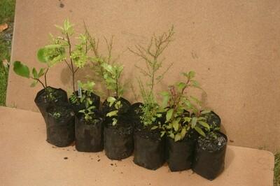 Six mixed native trees