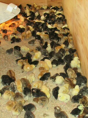 1-2 DAY OLD KUROILER CHICKS