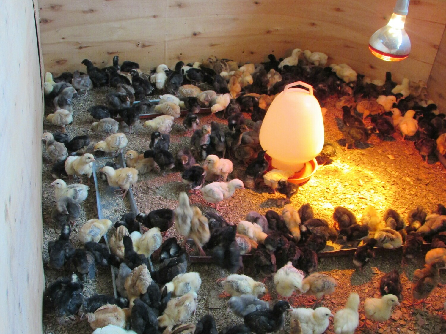 DAY OLD RAINBOW ROOSTER CHICKS