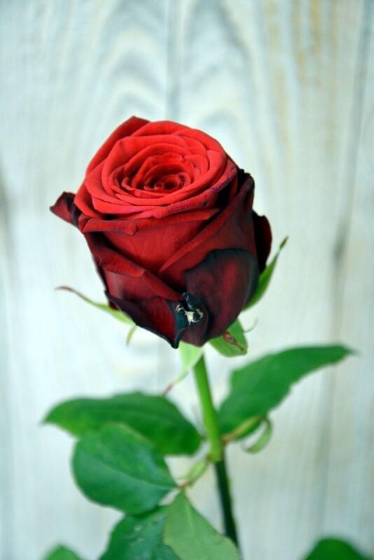 Einzelne Rosen Rot mit Grün